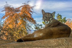 Mountain Lion relaxing on a Ledge