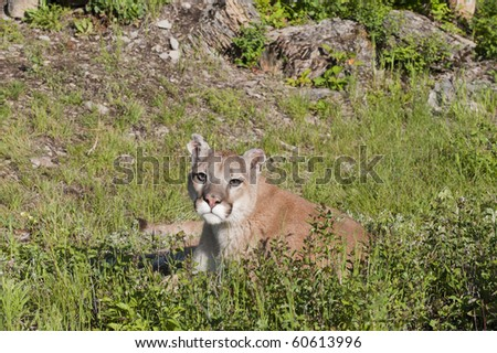 Mountain lion rests in alpine meadow surrounded by rocks.