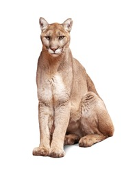 Mountain Lion sitting looking at camera. Isolated on white.