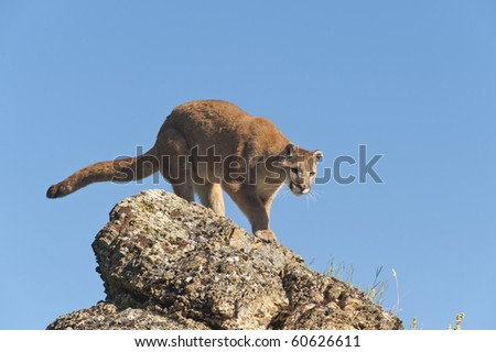 Mountain lion surrounded by spring flowers on mountain hillside.
