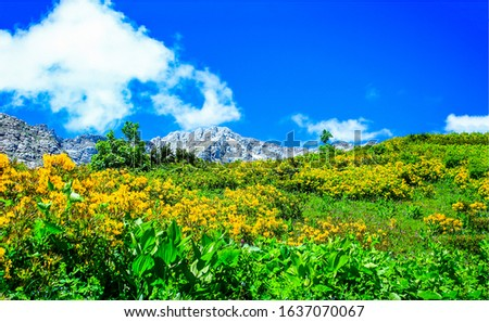 Mountain meadow valley flowers view. Yellow flowers on mountain meadow