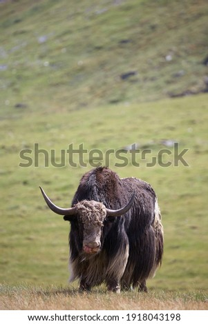 Mountain ox sarlyk or in lating Bos grunniens in highland natural environment. Altai, Siberia, Russia. Stockfoto ©