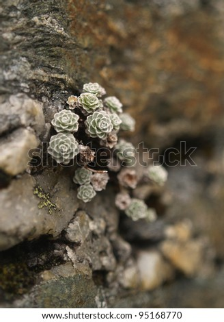 Mountain plant on the rock, New Zealand