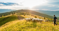 Mountain range at sunset. A herd of sheep in the mountains. Beautiful mountain landscape view. Shepherds' Home in the Mountains. Carpathians, Ukraine.