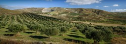 Mountain rural landscape, olive groves of Greece, panorama