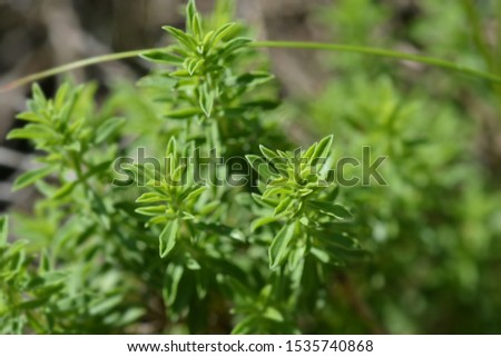 Mountain savory leaves - Latin name - Satureja montana Photo stock ©