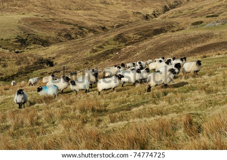 Mountain sheep grazing on a hillside in Achill Island Co.Mayo Ireland