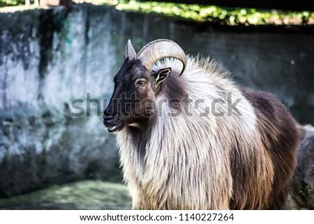 mountain sheep portrait #1140227264