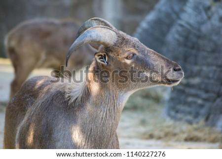 mountain sheep portrait #1140227276