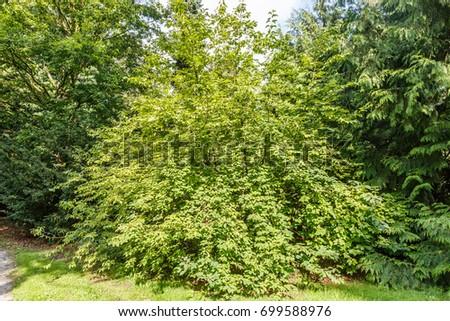 Mountain silverbell, Halesia monticola #699588976