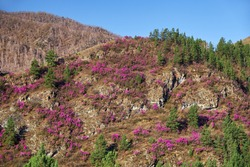 Mountain slopes covered by Rhododendron dauricum bushes with flowers (popular names bagulnik, maralnik). Altai, Siberia, Russia.