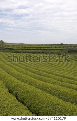 Mountain tea - Shutterstock ID 274110179