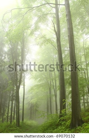 Mountain trail in the spring beech forest on a foggy, rainy day.
