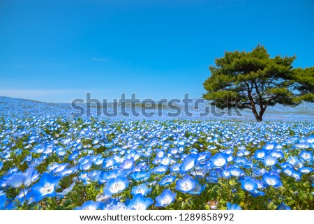 Mountain, Tree and Nemophila (baby blue eyes flowers) field, blue flower carpet, Japanese Natural Attraction. Hitachi Seaside Park, Ibaraki, Japan.