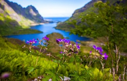 Mountain violet flowers on Lofoten Islands, blue sky, blue sea, green grass, mountainous coast landscape in background, blurred background