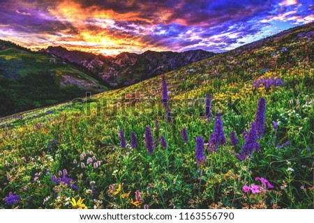 Mountain wildflowers bloom in an explosion of summertime color in Albion Basin, located in Alta above the Snowbird Ski Resort in Little Cottonwood Canyon, Utah. Stock fotó ©