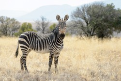 Mountain Zebra (Equus zebra) standing in grassland, Mountain Zebra National Park, South Africa