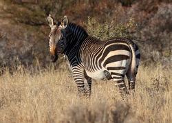 Mountain Zebra National Park, South Africa: Portrait of a Mountain Zebra, Zebra equus, once hunted to near extinction