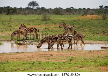 Mountain Zebras at watering place, Tsavo East National Park, Kenya, Africa