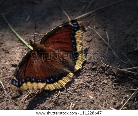 Mourning Cloak Butterfly (Nymphalis antiopa) enjoying the morning sun.  Though this is the state butterfly of Montana, it is also found in Northern Europe, Asia and Canada.