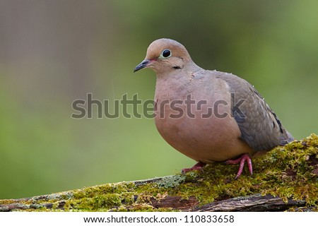 Mourning Dove, a.k.a. Turtle Dove, perched on moss covered log, taken by a bird feeder in suburban Philadelphia, Pennsylvania, USA