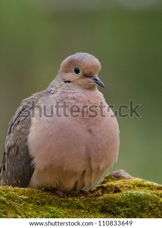 Mourning Dove, a.k.a. Turtle Dove portrait, perched on moss covered log with a nicely blurred green background, taken by a bird feeder in suburban Philadelphia, Pennsylvania, USA