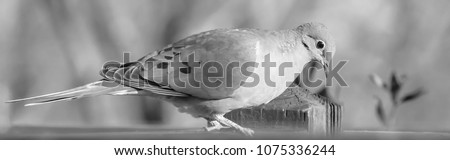 Mourning dove black and white photo #1075336244