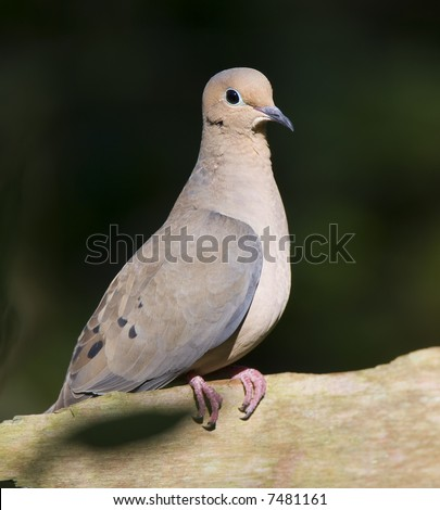 Mourning Dove on a limb.