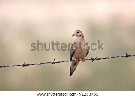 Mourning Dove on Barbed Wire Saskatchewan Canada