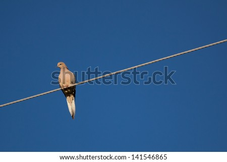 Mourning Dove Perched on Cable with Crisp Blue Sky Background