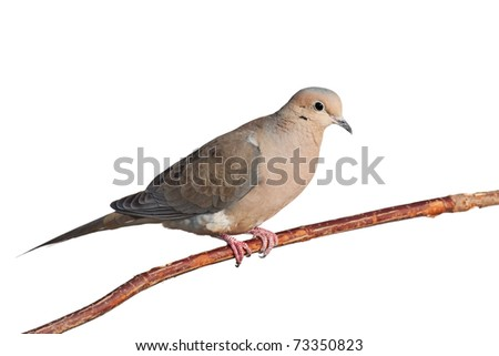 mourning dove relaxes on a branch, white background