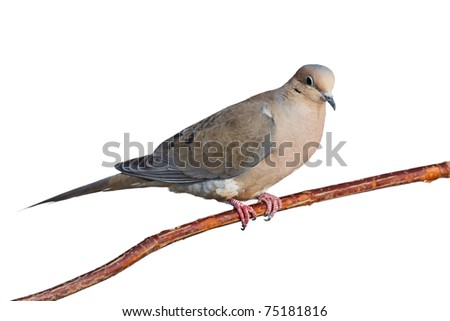 mourning dove with a suspicious expression perched on a branch, white background