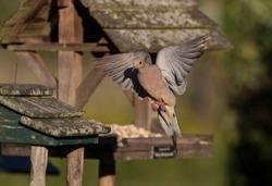 Mourning dove (Zenaida macroura)   is the national bird of the British Virgin Islands.North American birds.