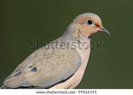 Mourning Dove (Zenaida macroura) on a green background