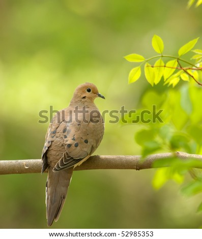 Mourning dove, Zenaida macroura, perched on a tree branch