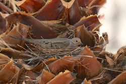 Mourning Dove (zenaida macroura) sitting on it's nest in the trunk of a palm tree