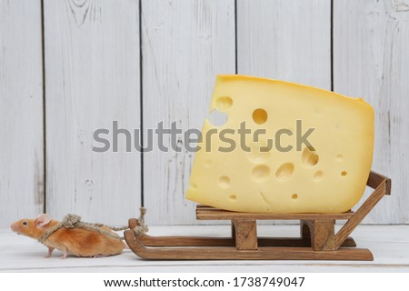 Mouse and cheese. Nutrition and delivery. Dreams come true! Cute mouse pulls tasty Swiss cheese with holes. Pet gourmet. Funny stubborn animal on diet. Hard work. Mouse wants delicious dinner. Glutton Stock photo ©