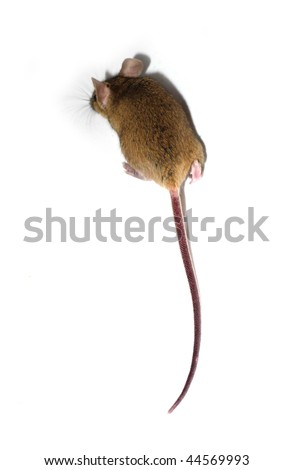 mouse - back with focus on tail