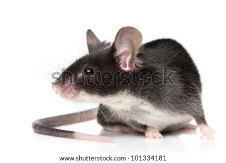 Mouse close-up portrait on white background