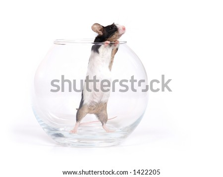 mouse in a bowl aquarium over white background