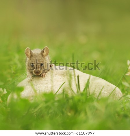 Mouse on stone on grass - green background