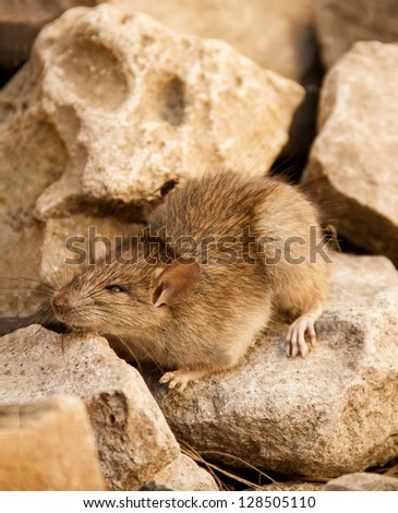 Mouse On The Stones
