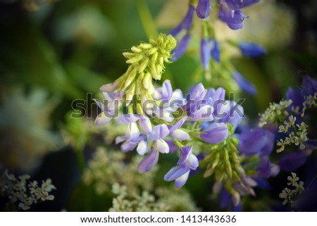 Mouse pea flowers close up ,Vicia cracca