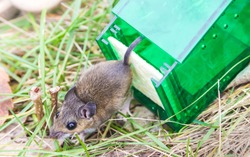 Mouse released from humane mouse trap