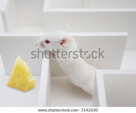 Mouse Searching a piece of cheese - stock photo