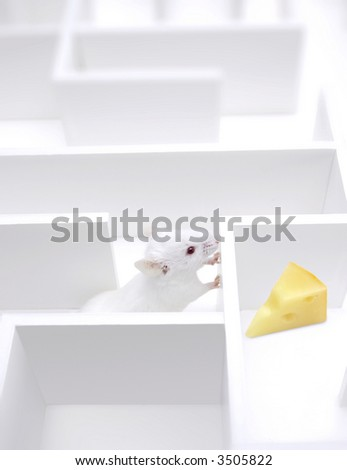 Mouse Searching a piece of cheese