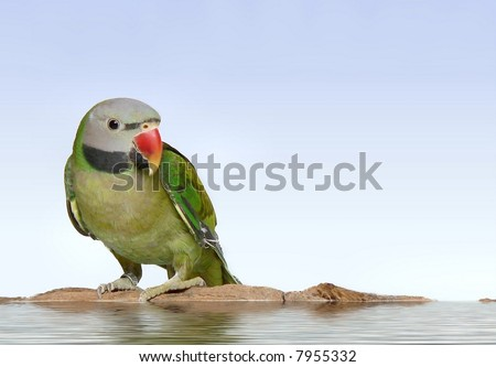 Moustached parakeet, Psittacula alexandri,  on floating log or miniature island with light blue background. It is a young male whose beak is still turning orange and still has a green chest.