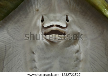 mouth and nostril  of short tail stingray or smooth stingray (Bathytoshia brevicaudata) (Ventral view)  #1232723527
