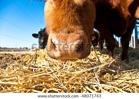 mouth of friendly cattle on straw with blue sky