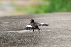 Movement Scene of Common Myna Bird Dancing on The Ground
